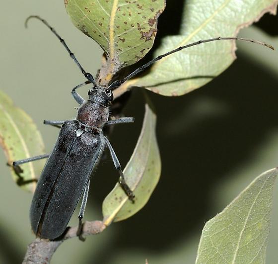 Longhorn in oak area, Huachucas  - Knulliana cincta - female
