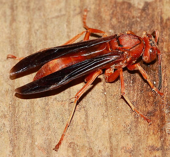 red wasp polistes bugguide net