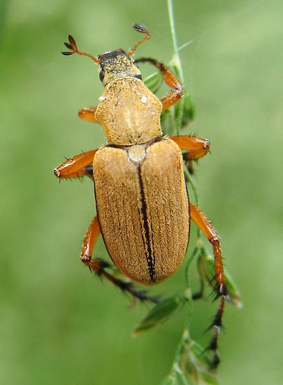 Rose Chafer - Macrodactylus
