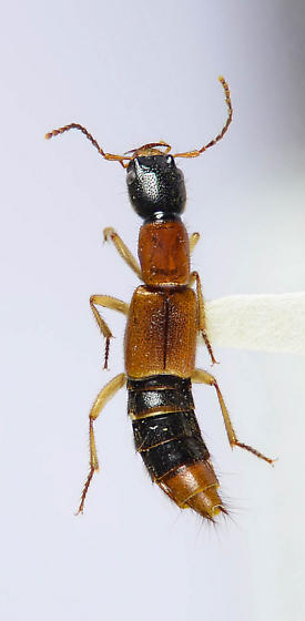 Another nice Staphylinid from  Arkansas - Homaeotarsus