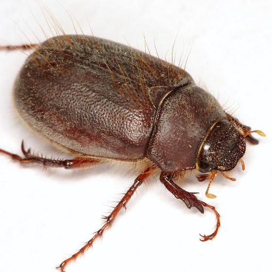 Phyllophaga vetula (Horn) - Phyllophaga vetula