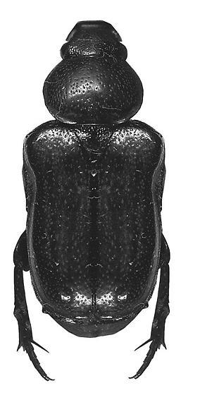 Psilocnemis leucosticta Burmeister - Psilocnemis leucosticta