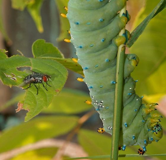 Tachinid Parisitoid on Cecropia Larva