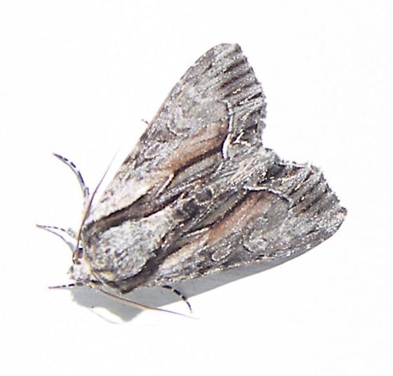 unknow moth - Hyppa xylinoides