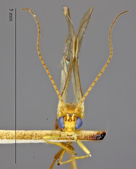 Meteorus - male