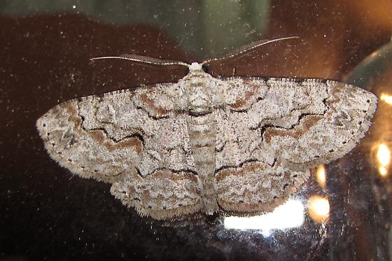 Moth ID request - Iridopsis defectaria - male