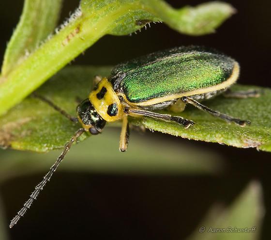 Trirhabda flavolimbata feeding on B. douglasii - Trirhabda flavolimbata