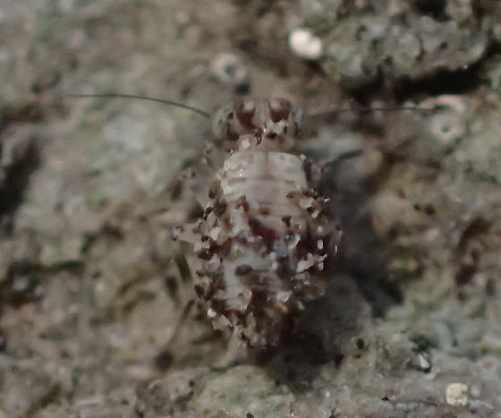 Psocodea - Lithoseopsis hellmani