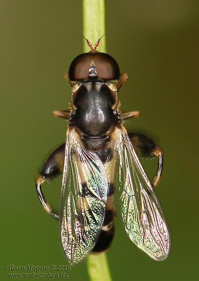 Syrphidae ? - Syritta pipiens