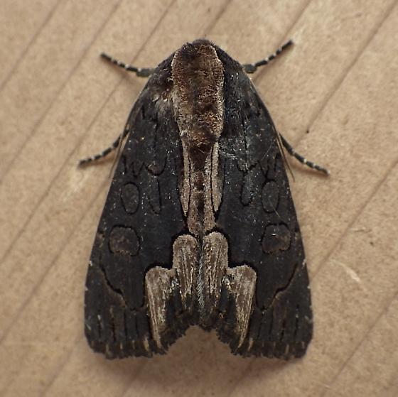 Noctuidae: Dypterygia rozmani - Dypterygia rozmani