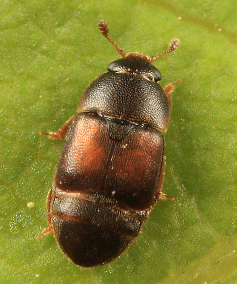 small flower beetle - Colopterus truncatus