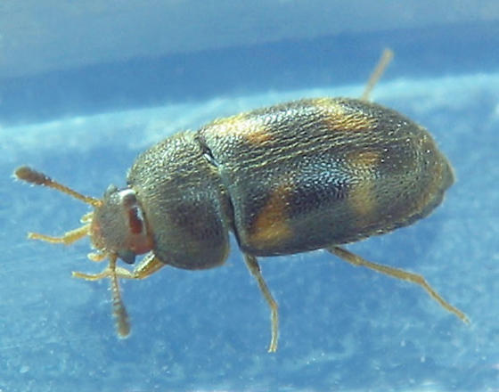 Another hairy fungus beetle species - Mycetophagus didesmus