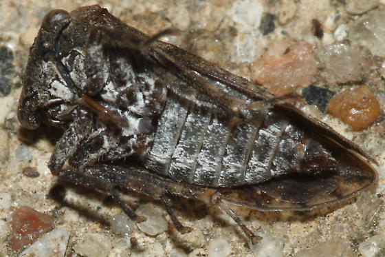 Treehopper, Microcentrus - Microcentrus perditus