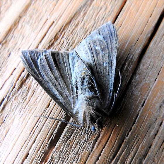 Can anyone ID this moth? Possibly a Texas Mocis Moth? - Mocis
