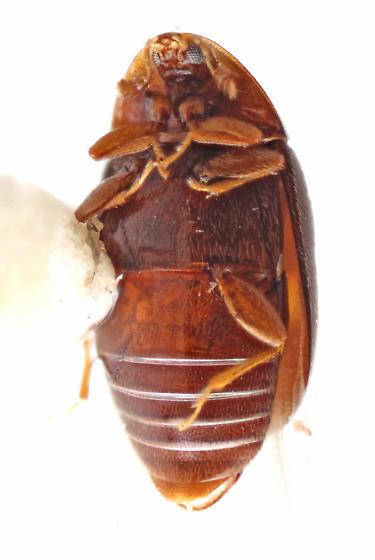 Oldies-20 - Clypastraea