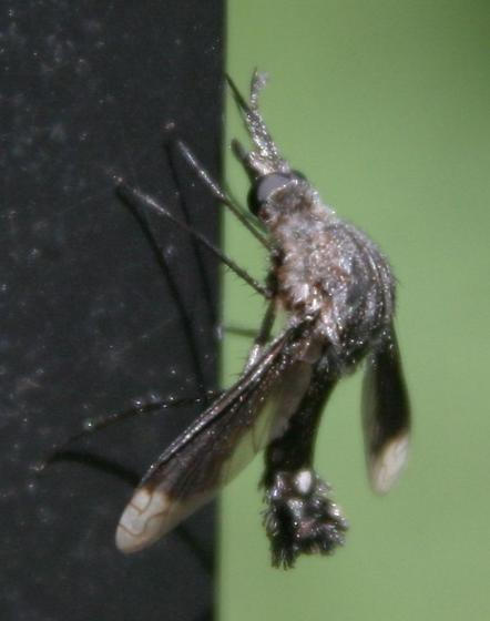 Bentsen Lepidophora #2 - Lepidophora vetusta