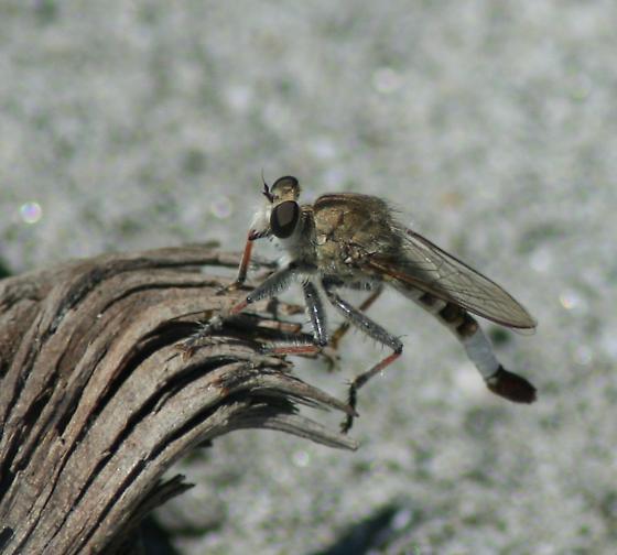 Apiocera fly - Efferia albibarbis