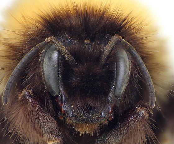 Bombus polaris Q - Bombus polaris - female