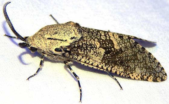 Carpenterworm Moth? - Prionoxystus robiniae