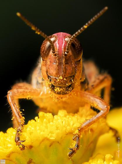 Orthoptera. Acrididae. Melanoplus femurrubrum - Melanoplus