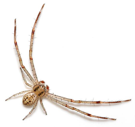 Raised M. celer - dorsal - Mecaphesa celer - male