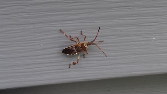 Bug on House Wall - Leptoglossus occidentalis