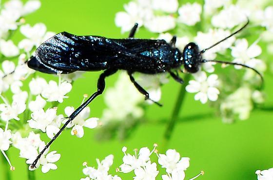 Chalybion californicum - Blue Mud Wasp - Chalybion californicum