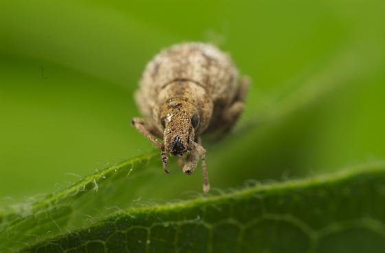 Broad nosen weevil from Virginia - Pseudocneorhinus obesus