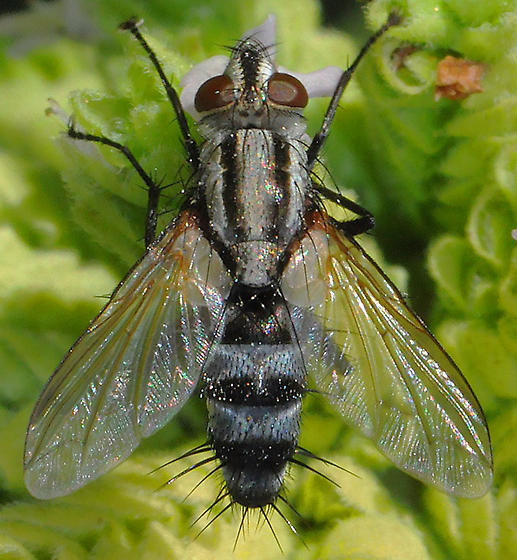 Tachinidae - Paradidyma?? - Vanderwulpia sequens - male