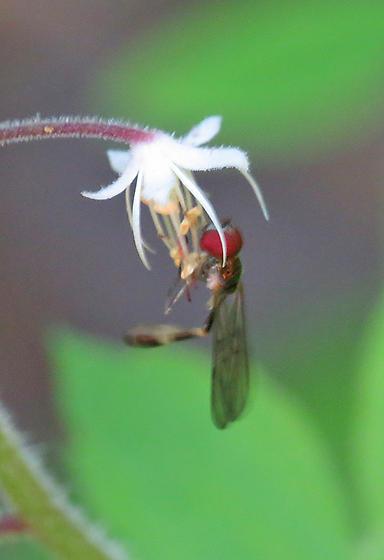 Ocyptamus sp. - Baccha cognata