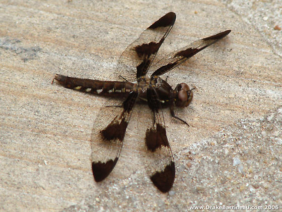 Chocolate Banded Dragonfly - Plathemis lydia - female