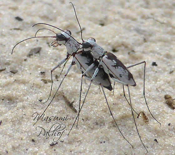 Moustached Tiger Beetle - Ellipsoptera hirtilabris - male - female