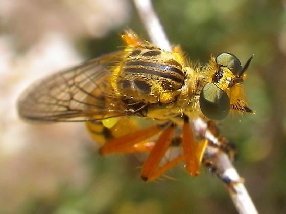 Wasp/Fly from Santiago Peak, CA - Callinicus pictitarsis