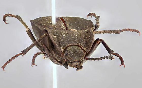 Beetle, anterior - Stenomorpha opaca