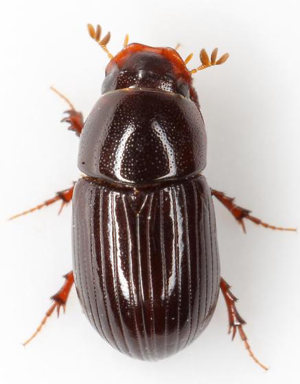 Aphodius granarius? - Aphodius rusicola