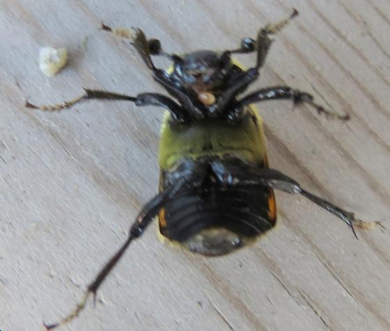 is this a Sexton Beetle? - Nicrophorus tomentosus