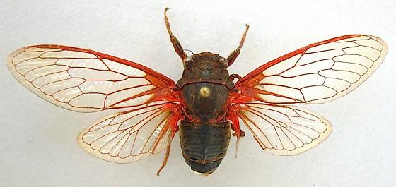 Red veined Cicada - Okanagana rubrovenosa