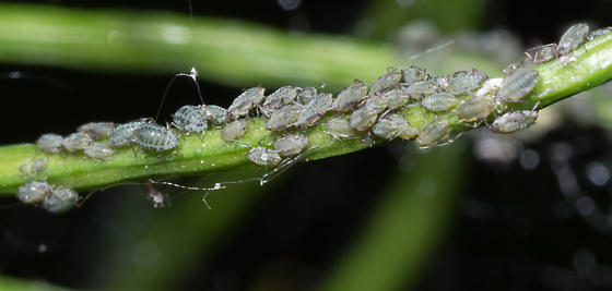 aphid – Lipaphis sp.? - Lipaphis pseudobrassicae