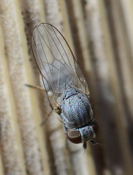 Unknown Fly - Leucopis