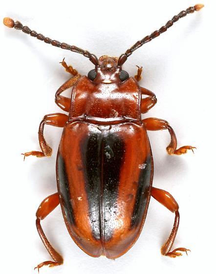 Handsome Fungus Beetle - Aphorista vittata