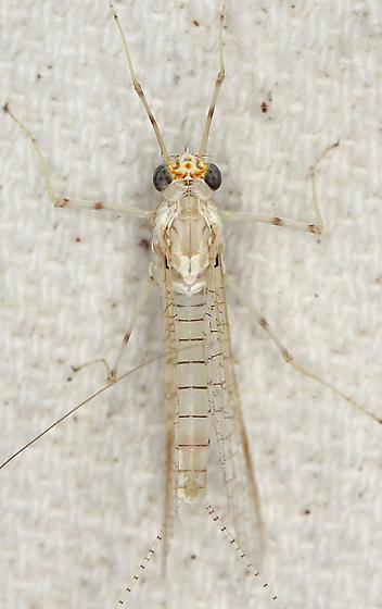 Maccaffertium pulchellum - female