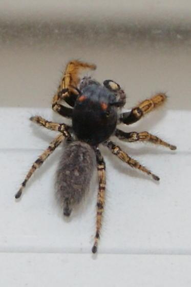 P. mystaceus confirmation - Phidippus mystaceus - male