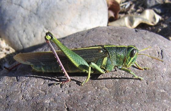 Schistocerca - Schistocerca lineata - female
