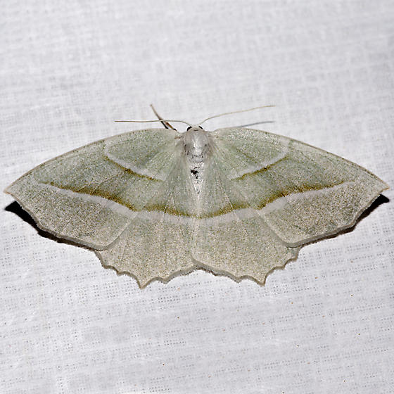 Pale Beauty - Campaea perlata - female
