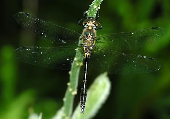 Petite Emerald 2 - Dorocordulia lepida - male
