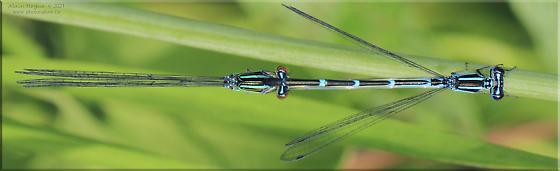 Enallagma exsulans - male - female