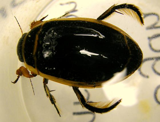 What type of water beetle - Dytiscus hybridus - male