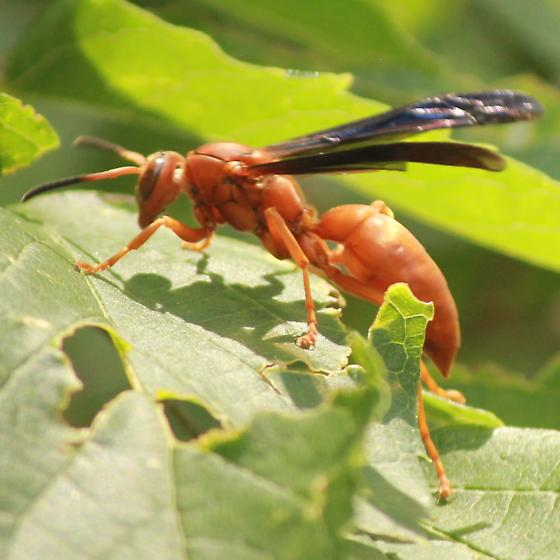 Red Paper Wasps - Left Lateral - Polistes
