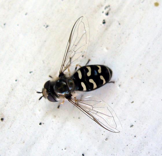 Syrphidae 9/13/08 01 - Scaeva pyrastri
