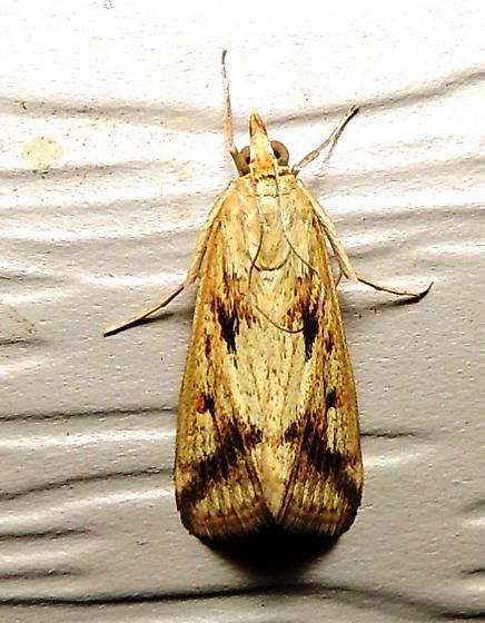 Achyra bifidalis - Hodges#4974 - Achyra bifidalis